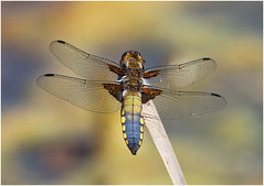 Broad bodied Chaser (male) (Antony Ward) Tags: inexplore explore broadbodiedchaser dragonfly