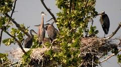 5623ex2 crowded nest (jjjj56cp) Tags: birds aves heron herons gbh greatblueheron millcreek rookery millcreekrookery nest nesting spring springtime cincinnati oh ohio p900 jennypansing handheld