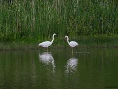 Great White Egret (Corine Bliek) Tags: ardeaalba bird birds vogel vogels nature natuur wildlife waders reigers egret
