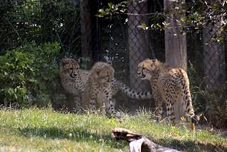 Cheetah Triplets
