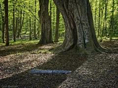 Light in the forest (Geir Bakken) Tags: m43 mirrorless microfourthirds mitakon25mmf095 mitakon speedmaster hdr landscape norway norge horten vestfold forest trees tree perfectbeauty