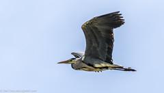 9Q6A3131 (2) (Alinbidford) Tags: alancurtis alinbidford brandonmarsh greyheron nature wildbirds wildlife