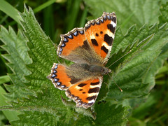 Small Tortoiseshell - Aglais urticae - Great Ouse - Milton Keynes 13May18 (kerrydavidtaylor) Tags: butterfly butterflies lepidoptera nymphalidae