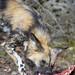 Wild dog eating meat IIV