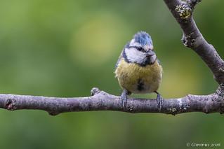 Blue tit (Juvenile).
