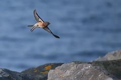 Linnet in flight (philk_56) Tags: jersey channel islands bird sthelier linnet flight flying sea rocks water
