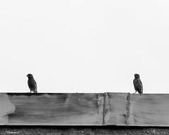 Let's Look In This Direction (that_damn_duck) Tags: nikon blackwhite monochrome nature bird birds sky wood bw blackandwhite