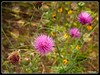 Texas Thistles (PEN-F_Fan) Tags: photoborder pencamera photoedge plant photoframe on1photoraw2018 nicolesybokehoverlays nicolesybokeh011 northamerica on1photoraw olympuspenf postprocessing texasthistle texas texture unitedstatesofamerica type style primelens preset processingsoftware shallowdepthoffield raw flower ladybirdjohnsonwildflowercenter lens effect bokeh camera cirsiumtexanum mft microfourthirds mirrorless mzuiko30mmf35macro m43 macro austin olympusflickraward