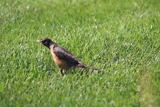 #backyardbirds  May 23 2018 Waunakee WI