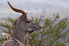 Wilderness moment (memories-in-motion) Tags: kudu southafrica gamedrive animal wilderness moment eye profile hair silence view canon 7d 7dmarkii ef70300mm africa