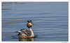 Gracieux ! (C. OTTIE et J-Y KERMORVANT) Tags: nature animaux oiseaux grèbes grèbehuppé suisse