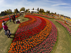 Skagit Valley Tulips-208 (RandomConnections) Tags: roozengaarde skagitcounty skagitvalley washington washingtonstate mountvernon unitedstates us skagitvalleytulipfestival