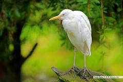 _DSC3274 (K S Kong) Tags: egret swanriver westernaustralia sonyfe100400mmf4556gmoss