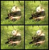 2018_04-26h1 (gkoo19681) Tags: tiantian dabigguy sohandsome proudpapa adorableears toofers tongueout sugarcane treattime sohappy feetsies tranquil peaceful beingadorable toocute precious amazing darling meltinghearts cooldude comfy perfection ccncby nationalzoo