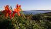 North Head flower (LSydney) Tags: flower sydney sydneyharbour northhead vista