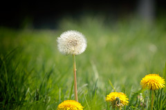 Dandelion (annapolis_rose) Tags: flower weed grass outdoors lowangle flickrfriday