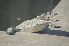 0742 Sunbathing Time (Hrvoje Simich - gaZZda) Tags: reptile nature wild teeth sunbathing chitwan nepal asia nikon nikond750 sigma150500563 gazzda hrvojesimich