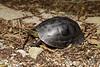 Malayan box turtle (Cuora amboinensis) (Steven Wong (ATKR)) Tags: steven wong siew por atkr45 stryker wsp atkr herp herping malaysia malayan box turtle cuora amboinensis