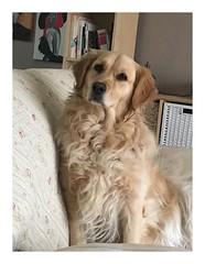 Album Chiens Clients Janvier-Avril 2018 (11) (Dalmatien-Golden-Braque) Tags: dalmatien goldenretriever braquedeweimar chien carcassonne elevage eleveur animaux dog breader
