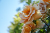 2018 Spring rose (shinichiro*) Tags: 20180505sdim2709 2018 crazyshin sigmasdquattroh sdqh sigma1770mmf284dcmacrohsm may spring flower rose yokohama kanagawa japan jp 40111209730 candidate