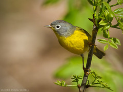 Grand Ole Warbler (Doug Scobel) Tags: nashville warbler oreothlypis ruficapilla magee marsh bird wildlife nature woodwarbler birdperfect
