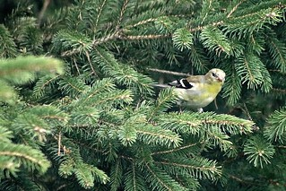 Female American Goldfinch On Spruce Tree Branch 003 - Spinus Tristis