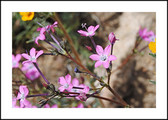 Chimney Peak Wilderness Wildflowers (AussieinUSA) Tags: fineflowergilia gilialeptanthassppurpusii california chimneypeakwilderness 2018wildflowers 2018 wildflowers inyocounty chimneypeakbackcountrybyway blm backcountrybyway 2016chimneyfire gilialeptantha