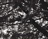 new light (OhDark30) Tags: carl zeiss jena czj werra 3 tessar 2850 35mm film monochrome bw blackandwhite bwfp fomapan 200 rodinal tree leaves light spring