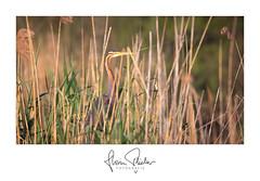 Purpurreiher (florianpluecker) Tags: sigma canon bird vogel natur nature wildlife germany deutschland purpurreiher purple heron reiher