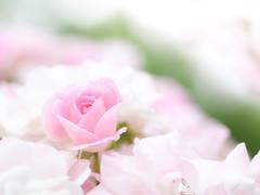 Like a baby (Tomo M) Tags: rose flower pink nature bokeh blur white pale pure 薔薇 横浜イングリッシュガーデン tamron macro spring garden