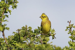Yellowhammer (Dougie Edmond) Tags: ayr scotland unitedkingdom gb bird birds nature wildlife beach water seaside