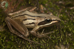 Striped Stream Frog - Strongylopus fasciatus (Nicolauecology) Tags: striped stream frog strongylopus fasciatus herps herpetology herping soutpansberg limpopo south africa amphibians amphibian frogs camouflage rivers streams wildlife nature explore gary kyle nicolau ecology photography macro 5dii