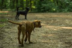 Bibi0516-2000 (adam.leaf) Tags: canon 6d 24105l leafling forest dog