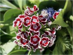 Blumengruß (ingrid eulenfan) Tags: blumen flower bartnelken sonyalpha6000 sonydt35mm 35mm blume makro pflanze plants bartnelke