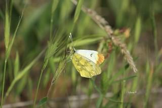Mariposa diurna de la familia Pieridae llamada El Zegrí, nombre científico Zegris eupheme. Esta la salvé de ahogarse porque no se el motivo pero cayó al agua en una charca. Una vez sacada del agua, puesta en una planta al sol y secadas sus alas voló.