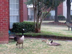 Family time (heights.18145) Tags: ducks animals feathers pond alabama nature ccncby