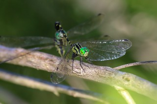 Archtail Dragonfly Pair