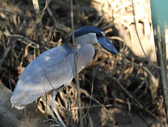 A87A3337 Boat-billed heron (steve.ray50) Tags: 2018 costarica tarcoles