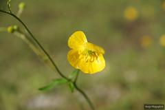 Bouton d'or (Missfujii) Tags: fleur jaune flore