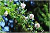 Ah! The sweet smell of roses after the rain. (Els Herten) Tags: rose white flower bokeh blossom
