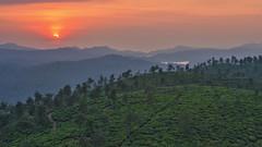 Tea and a sunset (siddarth.machado) Tags: sun orange tea plantation india western ghats