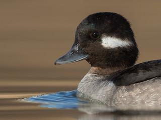 Bufflehead Duck (f)