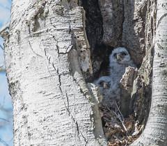 Tucked Away (Fredmiller13) Tags: barred owl owlettes parenthood offspring raptor predator
