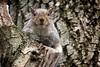 I see you!_Ti vedo! (Prilla 4.0) Tags: squirrel scoiattolo animal animale canonsx540 canon alberi tree