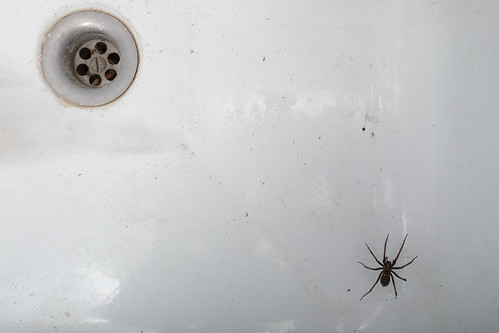 Spider in the sink