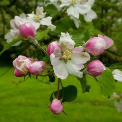 Bloesem (Geziena) Tags: bloesem bloem knop boom knoppen voorjaar lente regen tak tz80