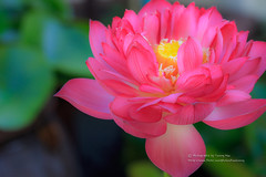 LOTUS (湯小米) Tags: canon 1dx ef100mmf28marco 微距 微距鏡 荷花 lotus flower 花卉