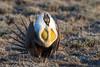 Alien Model? (Amy Hudechek Photography) Tags: sage grouse mating dance wildlife nature birds spring colorado amyhudechek nikond500 nikon600mmf4