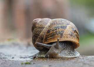 Garden Snail - Cornu aspersum