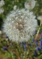 Spontaneous flora - Common Dandelion blowballs (sandaodiatiu) Tags: commondandelion fruits silver perennialplant blowball macro bokeh păpădie